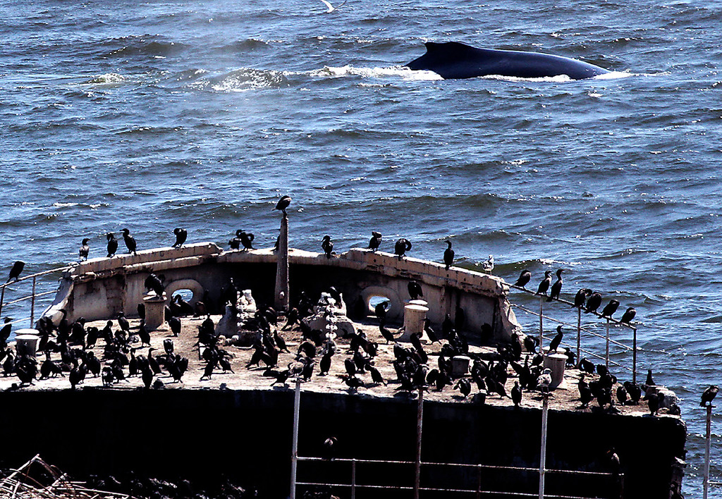 . Cormorants roosting on a section that remains of the Cement Ship at Seacliff State Beach have a front row seat as a humpback whale puts on a show nearby. (Shmuel Thaler -- Santa Cruz Sentinel)