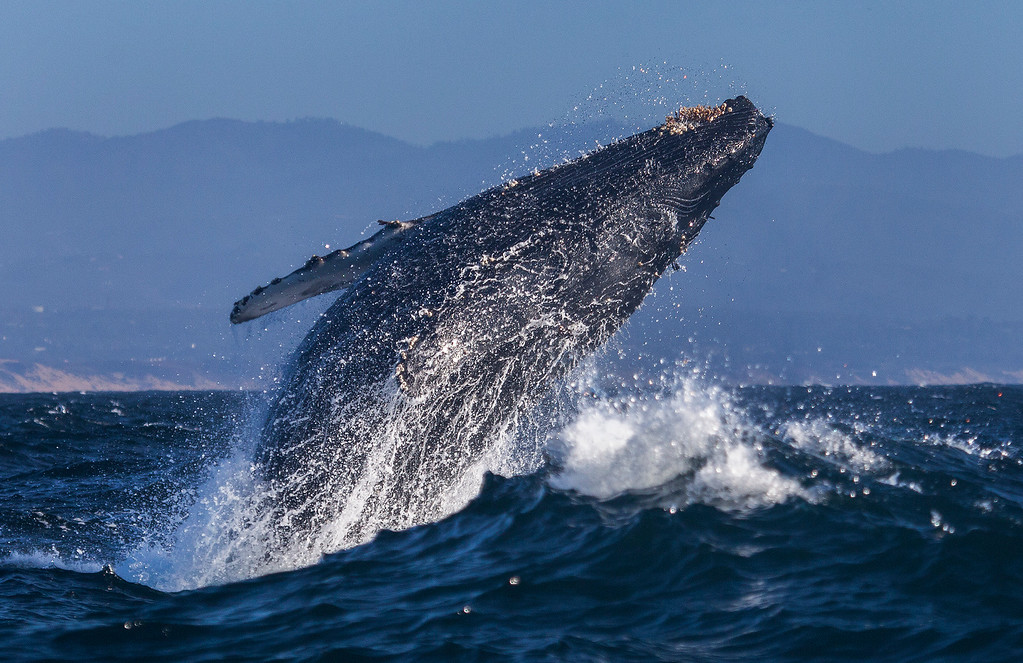 . A humpback whale breaches out of the waves in July in the Monterey Bay (Chase Dekker -- Sanctuary Cruises)