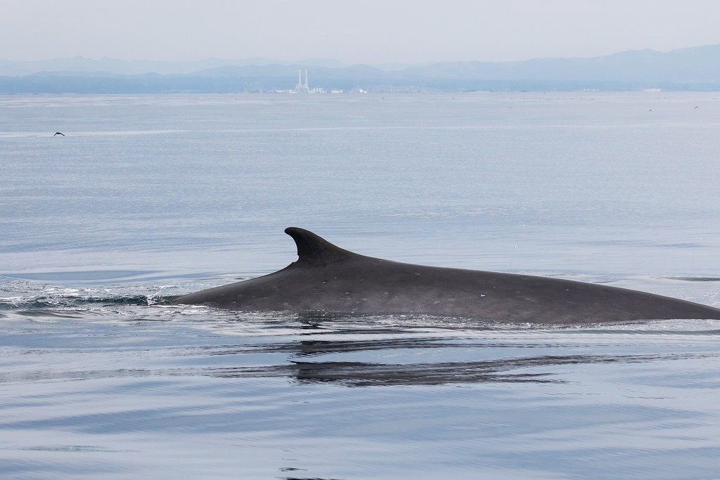 . A fin whale seen during the Monterey Bay Whale Watch\'s Aug. 3 trip. (Jodi Frediani -- Jodi Frediani Photography/Monterey Bay Whale Watch)