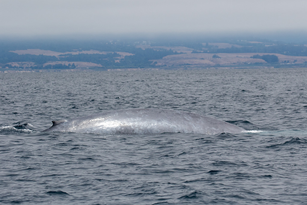 . A blue whale, one of five seen during the Monterey Bay Whale Watch\'s August 3, 2017 all-day whale watch. (Jodi Frediani -- Jodi Frediani Photography/Monterey Bay Whale Watch)