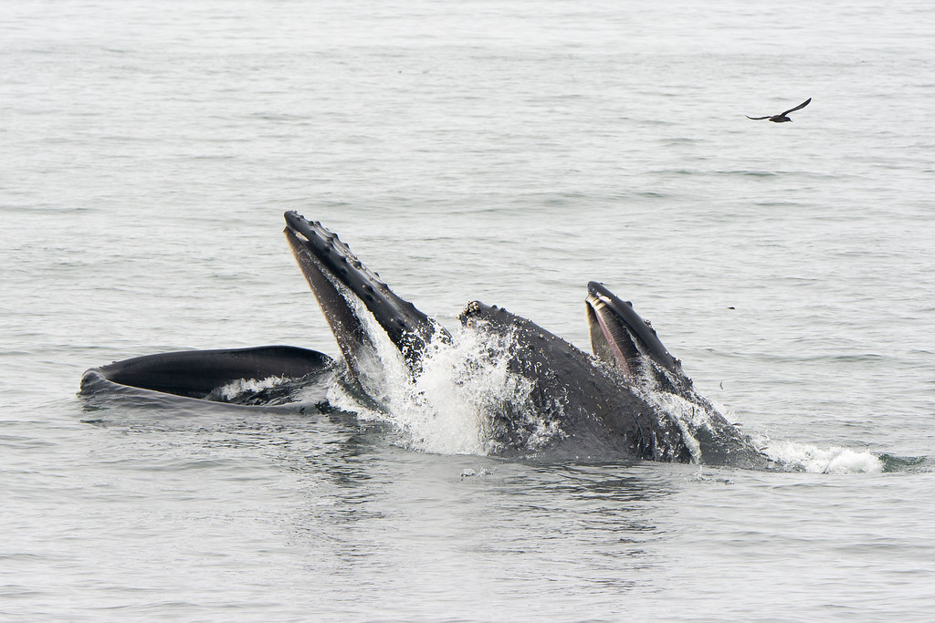 . Humpback whales feed in the Monterey Bay on Wednesday, Aug. 9, 2017. (Kate Cummings -- Blue Ocean Whale Watch)