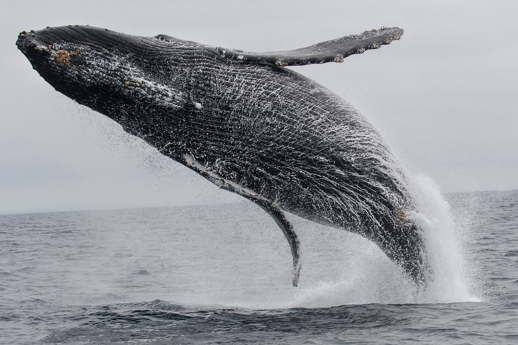 . One of three feeding humpback whales took time off to engage in some surface action, taken on Monterey Bay Whale Watch\'s August 6, 2017 whale watch. (Jodi Frediani -- Jodi Frediani Photography/Monterey Bay Whale Watch)