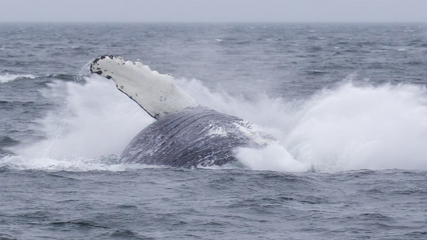 Humpbacks of South East Alaska