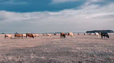 cattle in Hortobagy National Park, Hungary