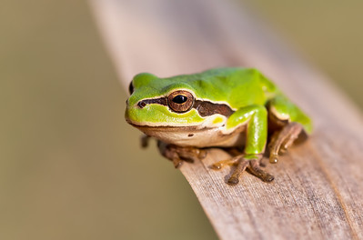 green tree frog Hortobagy, Hungary