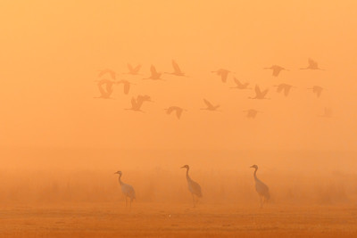 flying flock Common Crane, Hortobagy Hungary