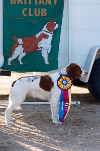 Brittany  GCH Good Golly Miss Molly CDX