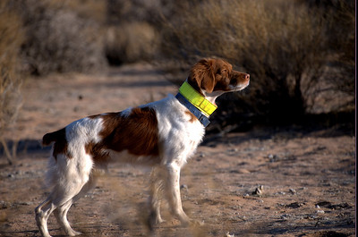 Brigade's Oscar De La Britt MH 2012 Hunt Test Dog of the Year 3 consecutive year.