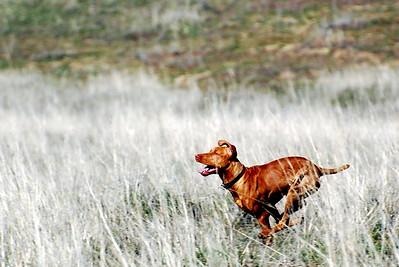 Vizsla on the run