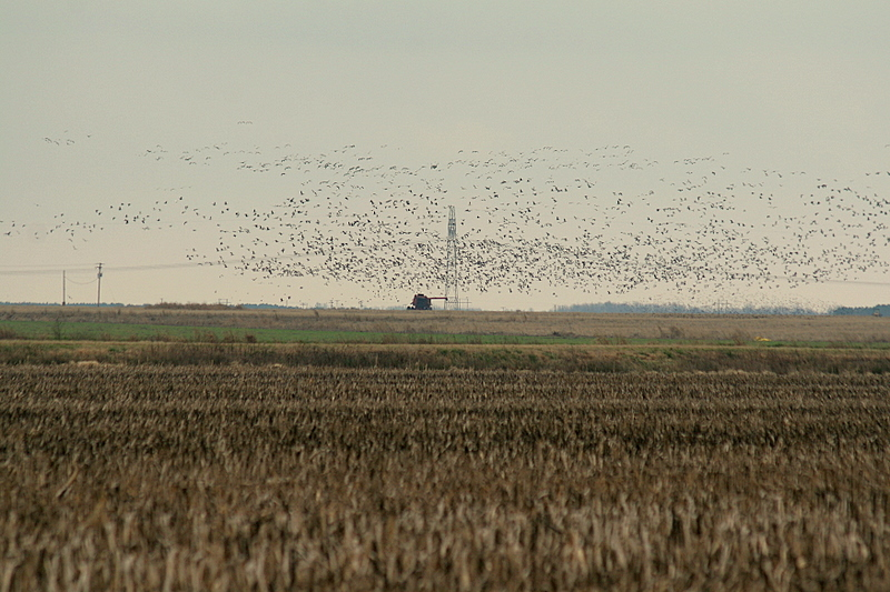 A huge flight of snow and speckled geese.  Arkansas, at least where we were in the northeast area is very flat and just covered with farmland.  There is all kinds of feed for the birds and they come here from up north to feast all winter.  It is really a great place to be outdoors and doing things that outdoor people like myself and the other guys love to do.<br /> <br /> Captain Al Lorenzetti