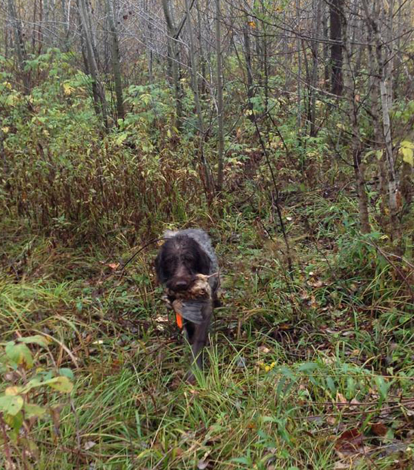 Briar demonstrates his woodcock retrieving prowess. (I'd get a lot more practice retrieving if you could shoot straight!)