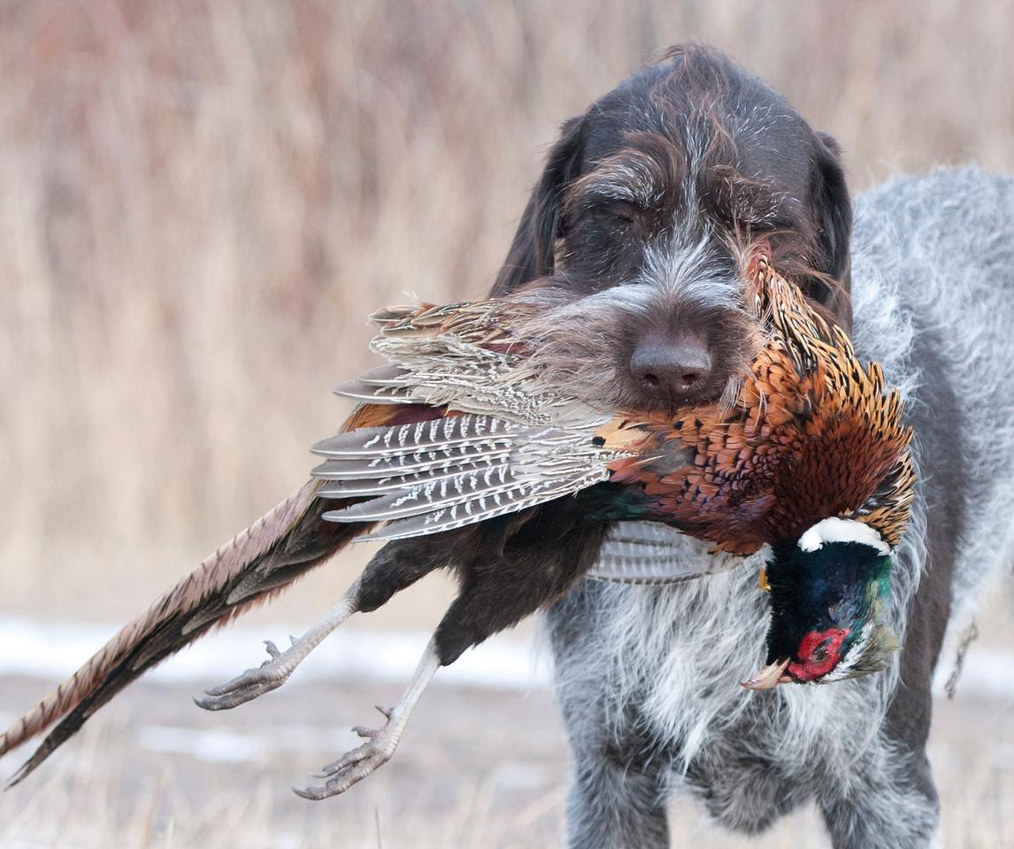 Brinker of Indian Creek Rooster retrieve