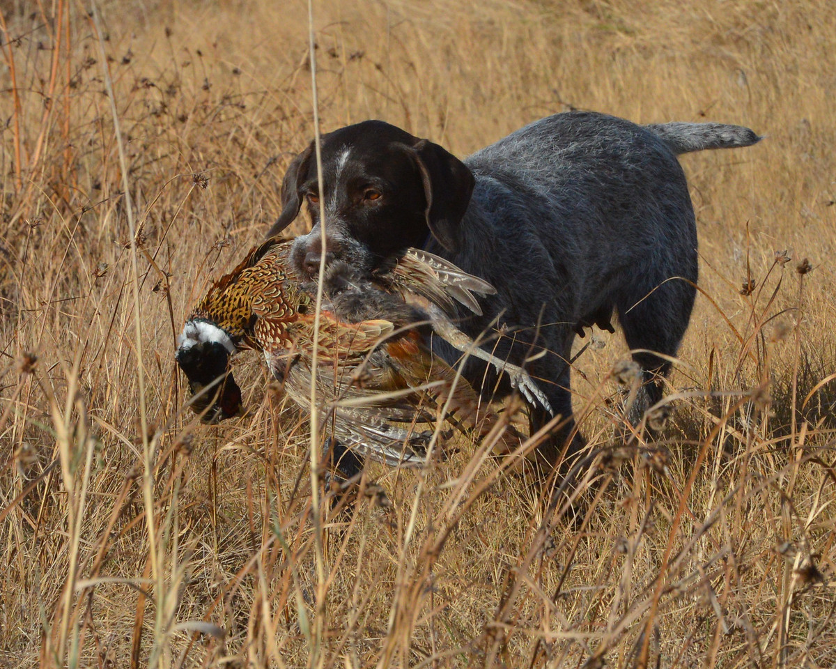 Francesca of Dutchman's Hollow Hunting Pheasants with owner Dave Finley