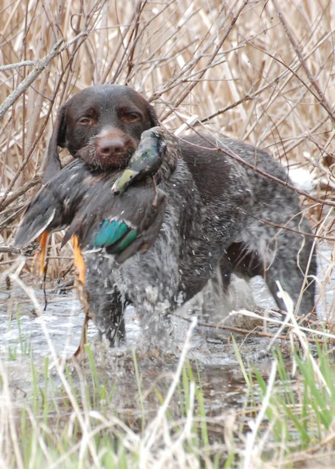 Henry of Dutchmans Hollow Retrieve of Duck
