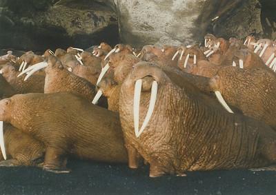 Walrus on the Bereing Seaside