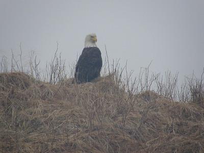 Bald Eagle At Bear Lake