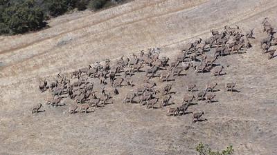 Aoudad Sheep Central Coast California