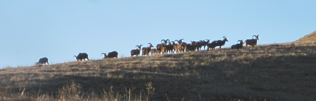 Aoudad Sheep Field Photos