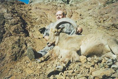 30 Inch Aoudad Ram