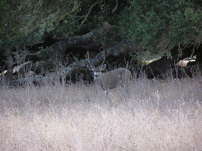 California Blacktail Deer I