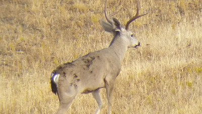 Ca Blacktail Deer