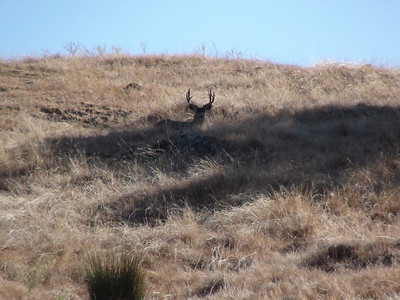 California Blacktail Deer