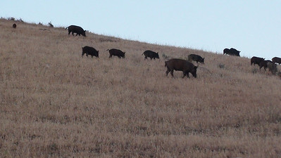 Wild Pig Carrisa Plains III