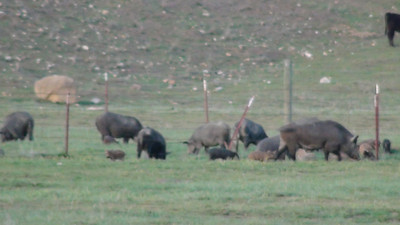 WIld Pig Carrisa Plains I