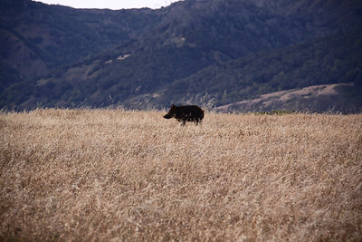 Wild Boar Hunts California Central Coast