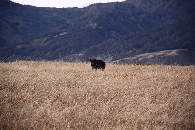 Wild Pig Hunting CA Central Coast