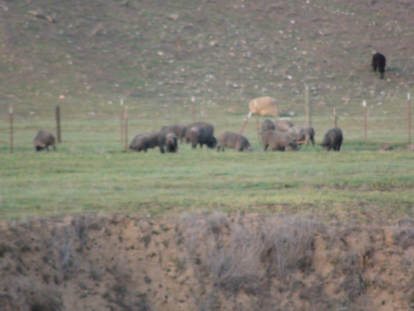 Wild Pig Field Photos