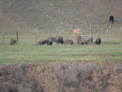 Wild Pig Carrisa Plains