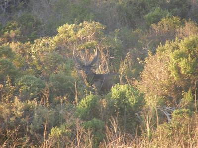Sambar Deer Sunrise I