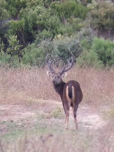 Sambar Deer 2018