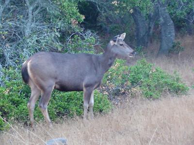 Sambar Deer Hind III