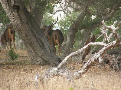 Sambar Deer Undercover