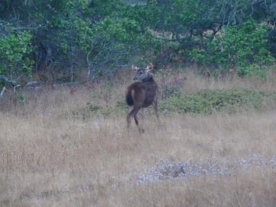 Sambar Deer Second Glance