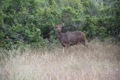 Sambar Deer Hind II