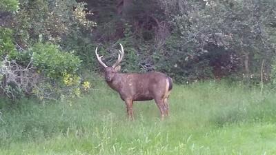 Sambar Deer-2016