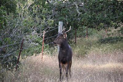 Young Sambar Deer II