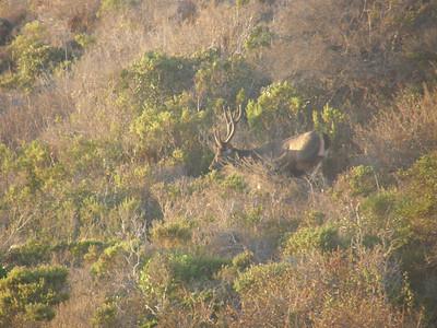 Sambar Deer Sunrise II