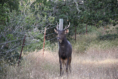 Young Sambar Deer I