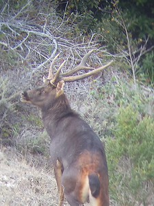 2018 Sambar Deer