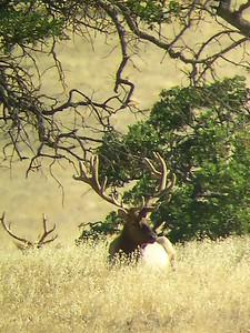 LaPanza Tule Elk  2020