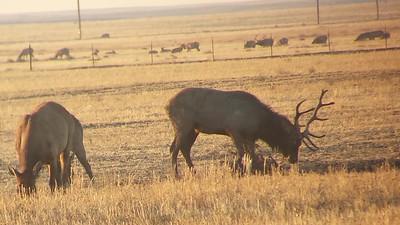 La Panza Tule Elk herd