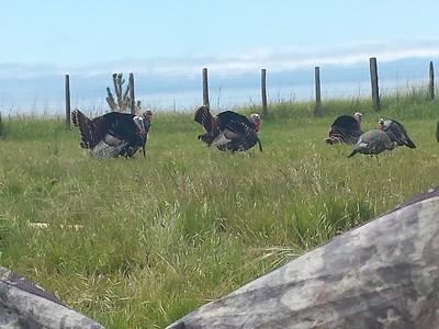 Rio Grande Turkeys  2019