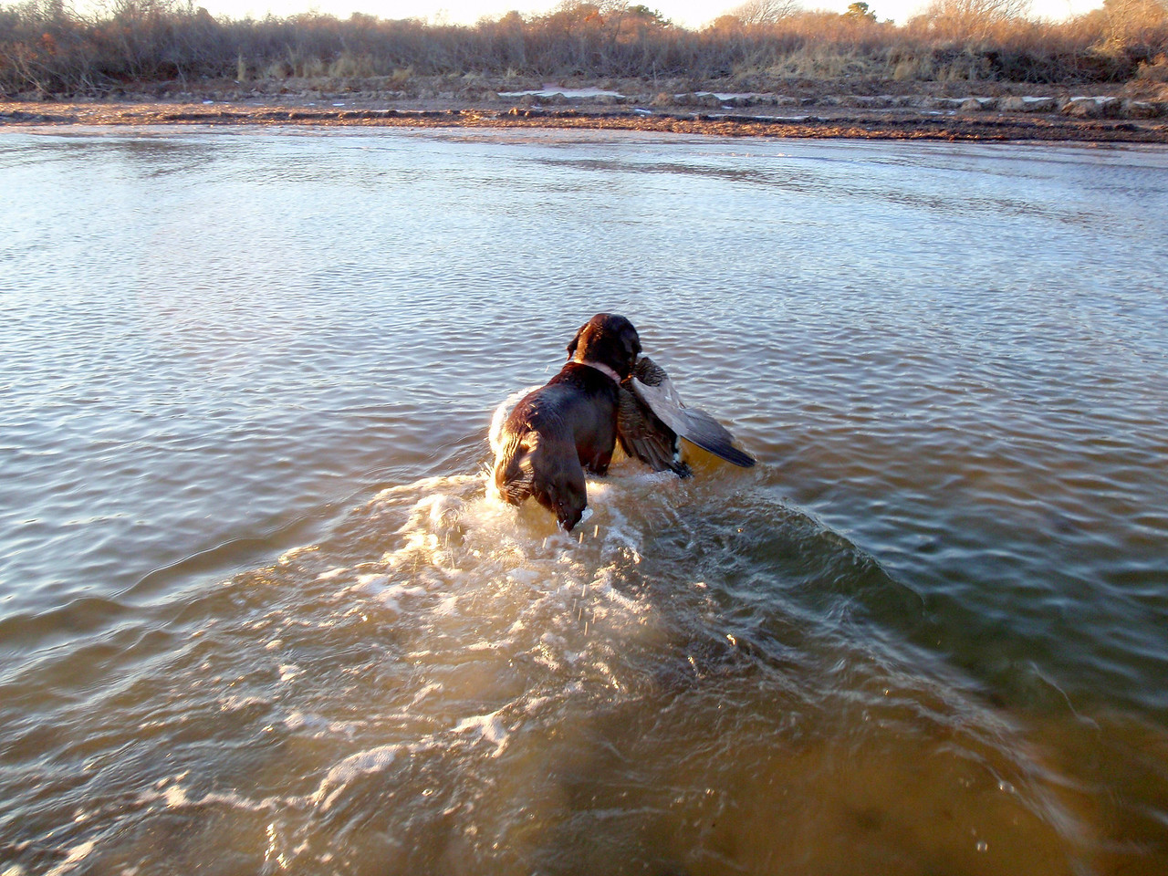 """Here is """"Scout"""" PJ's excellent young female Labrador making a super goose retrieve."""