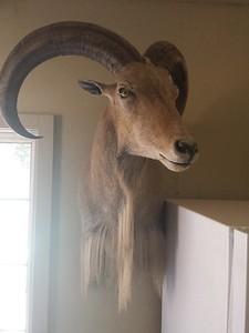 Aoudad Sheep Shoulder Mount