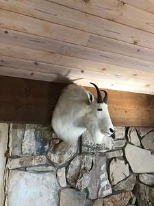 Mt. Goat Shoulder Mount