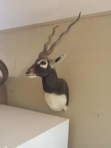 Blackbuck Antelope Shoulder Mount